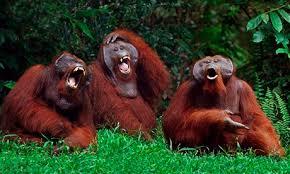 laughing-orang-utans